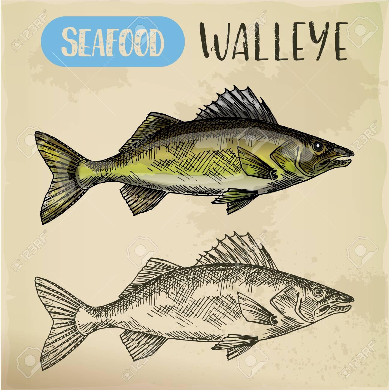 Sketch of walleye or perciform fish, pickerel - 101233364