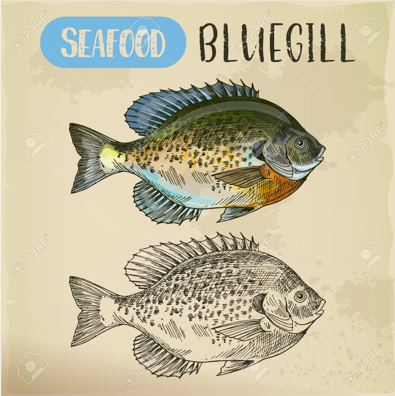 Bluegill sketch or hand drawn seafood - 102582666