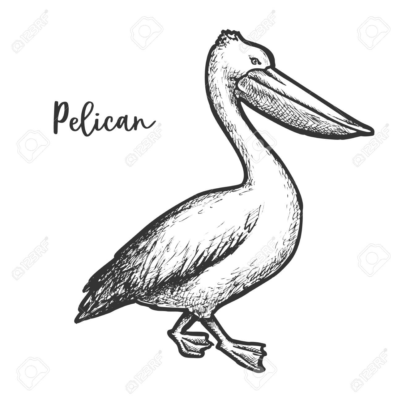 Pelican Etching Vector Illustration Sketch Of Bird Royalty Free Cliparts Vectors And Stock Illustration Image 147968365