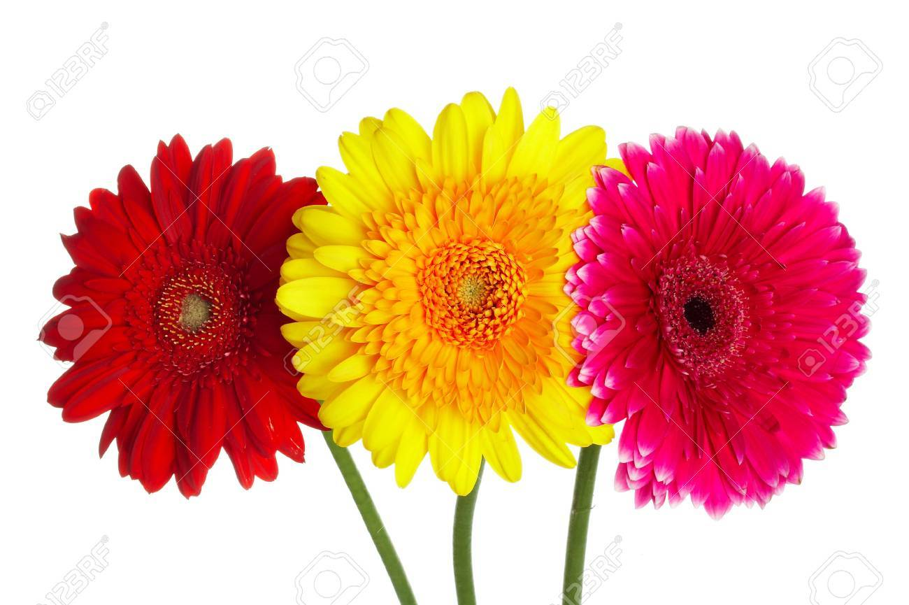 Photo Flowers Gerbers Different Color Stock Photo, Picture And ...