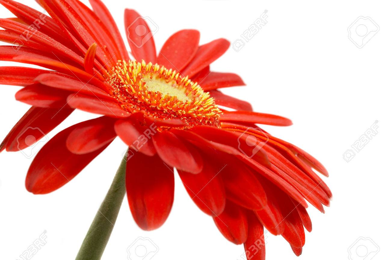 Red flower on a white background... - 1592179