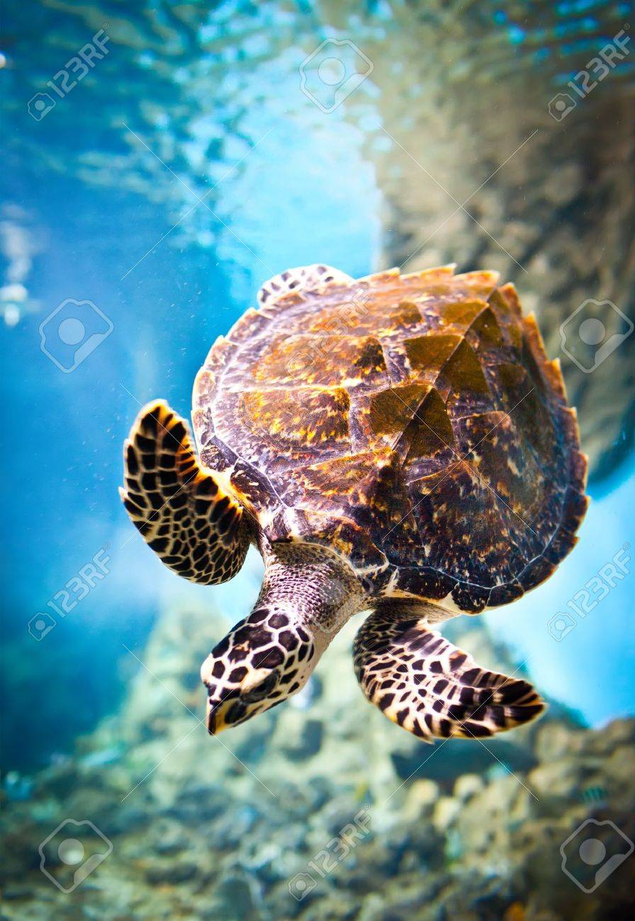 Eretmochelys imbricata floats under water Stock Photo - 12282405