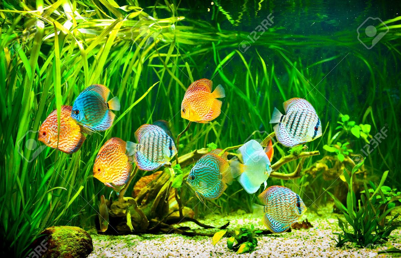 Freshwater aquarium fish crossword - Aquarium Plants Symphysodon Discus In An Aquarium On A Green Background