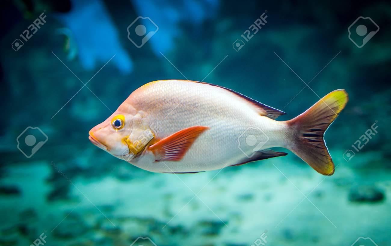 lutjanus gibbus in an aquarium Stock Photo - 13310484