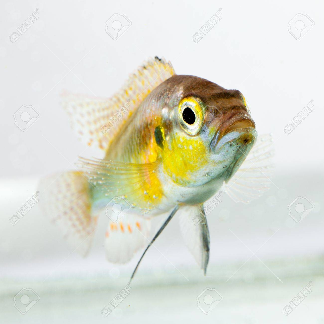 cichlid fish (Geophagus surinamensis) on a white background Stock Photo - 15160971