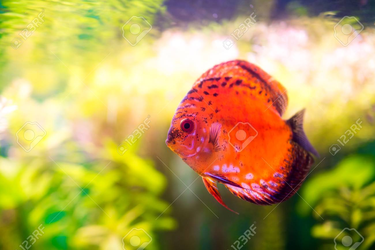 Symphysodon discus in an aquarium on a green background Stock Photo - 22219950