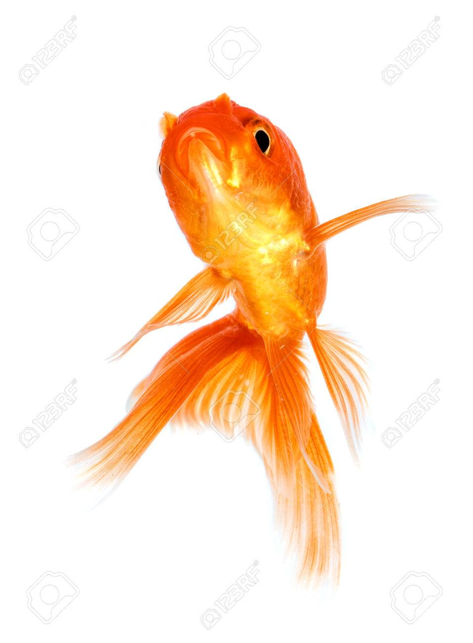 Gold fish isolated on a white background. Stock Photo - 22285547