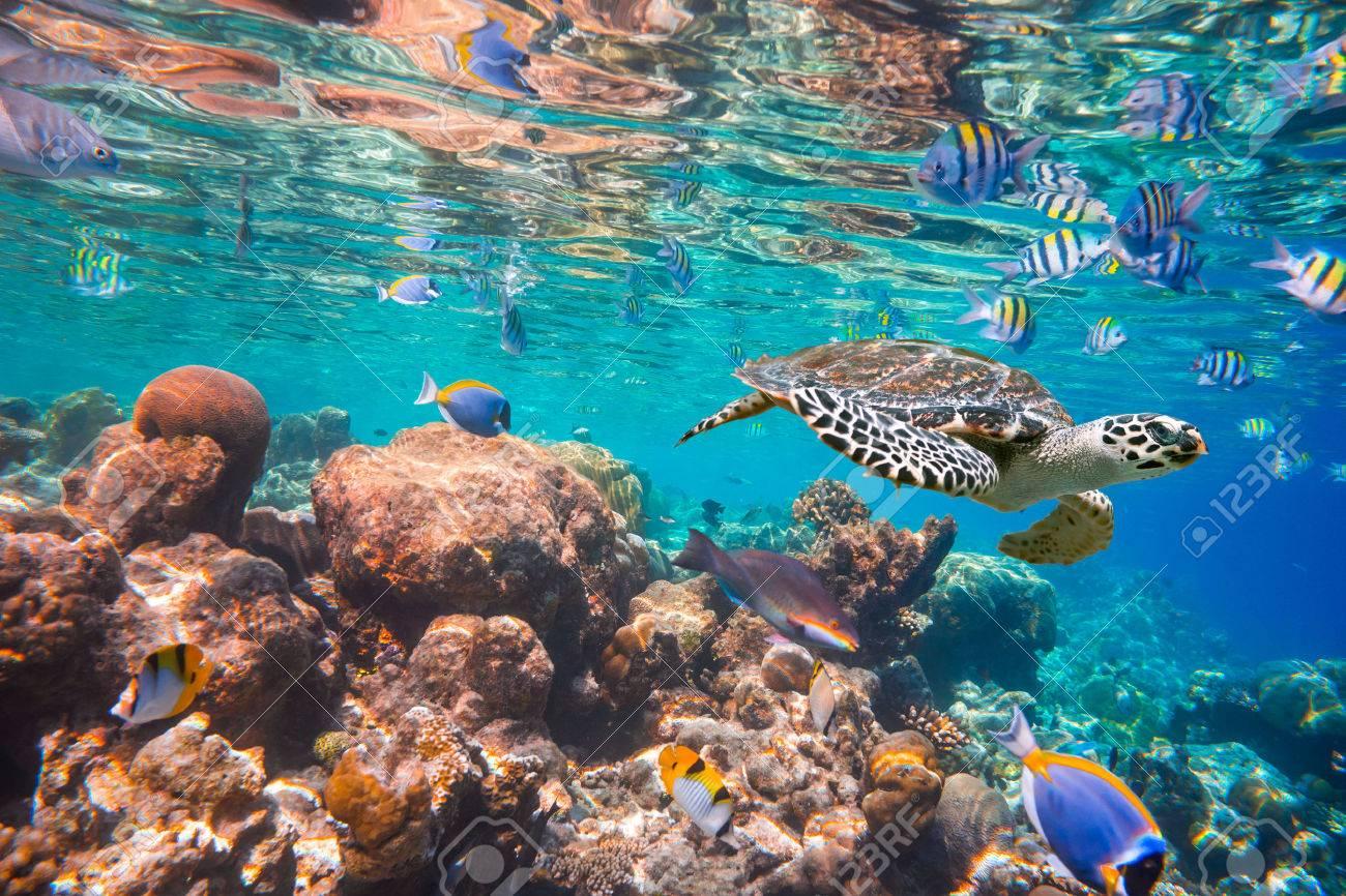Hawksbill Turtle - Eretmochelys imbricata floats under water. - 36145499