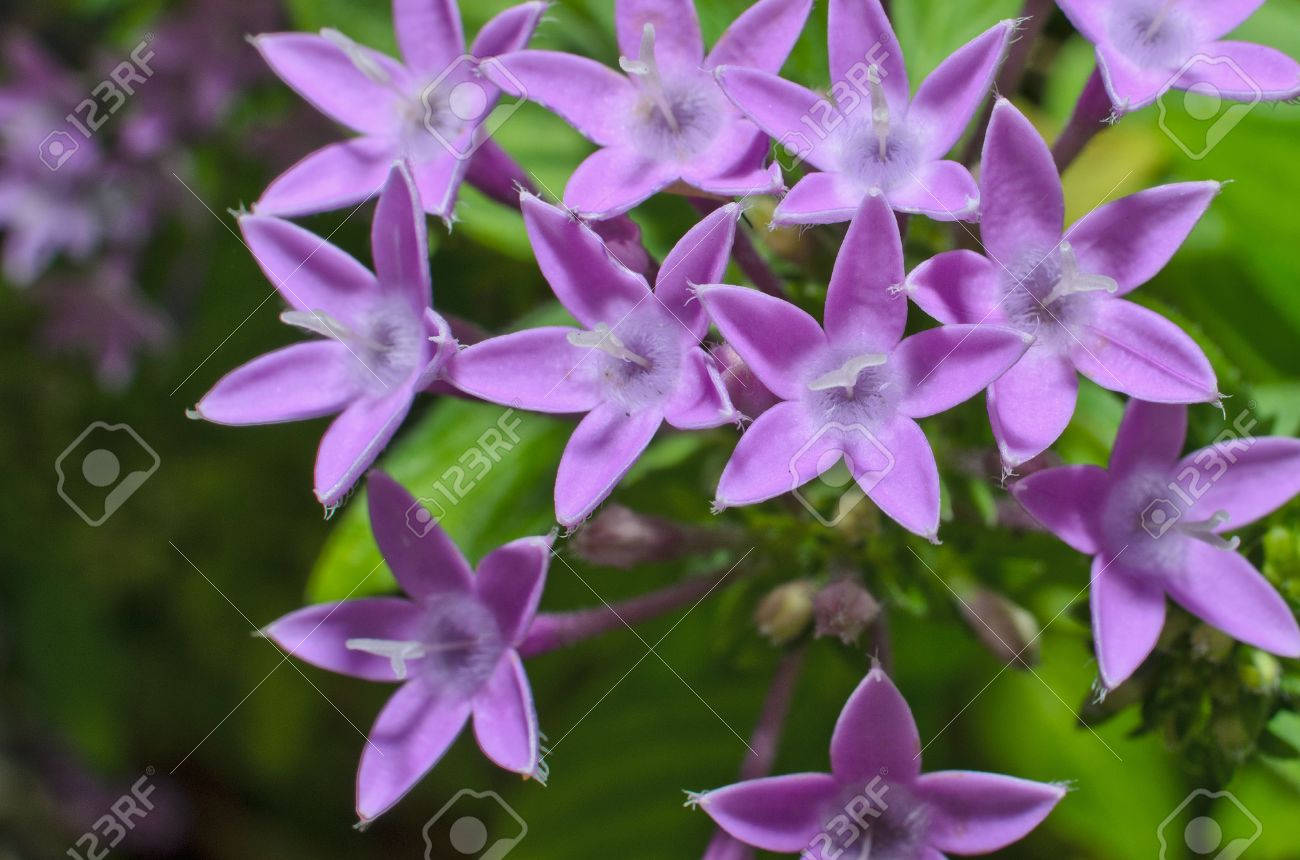 Purple Egyptian Star Cluster Or Star Flower Banco De Imagens Royalty