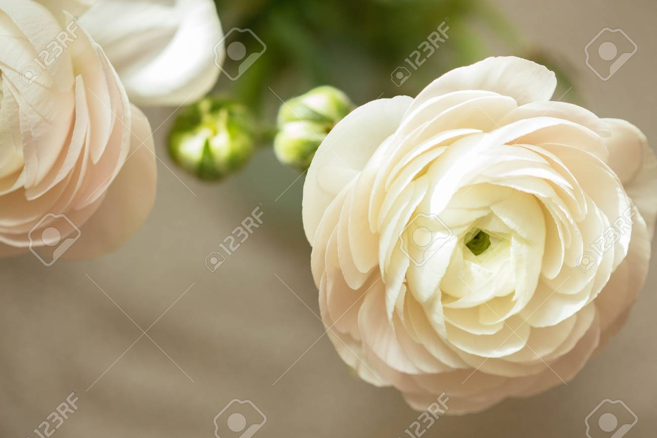 Tender white ranunculus flower petals with free space stock photo stock photo tender white ranunculus flower petals with free space mightylinksfo