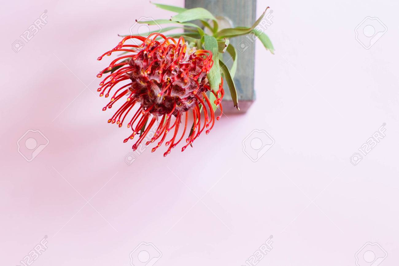 Red Leucospermum Flower On Solid Color Background Stock Photo ...