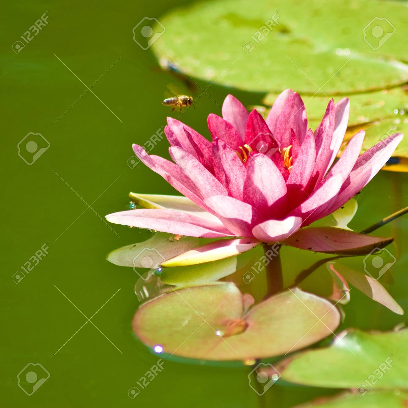 Image Of A Lotus Flower On The Water Stock Photo Picture And