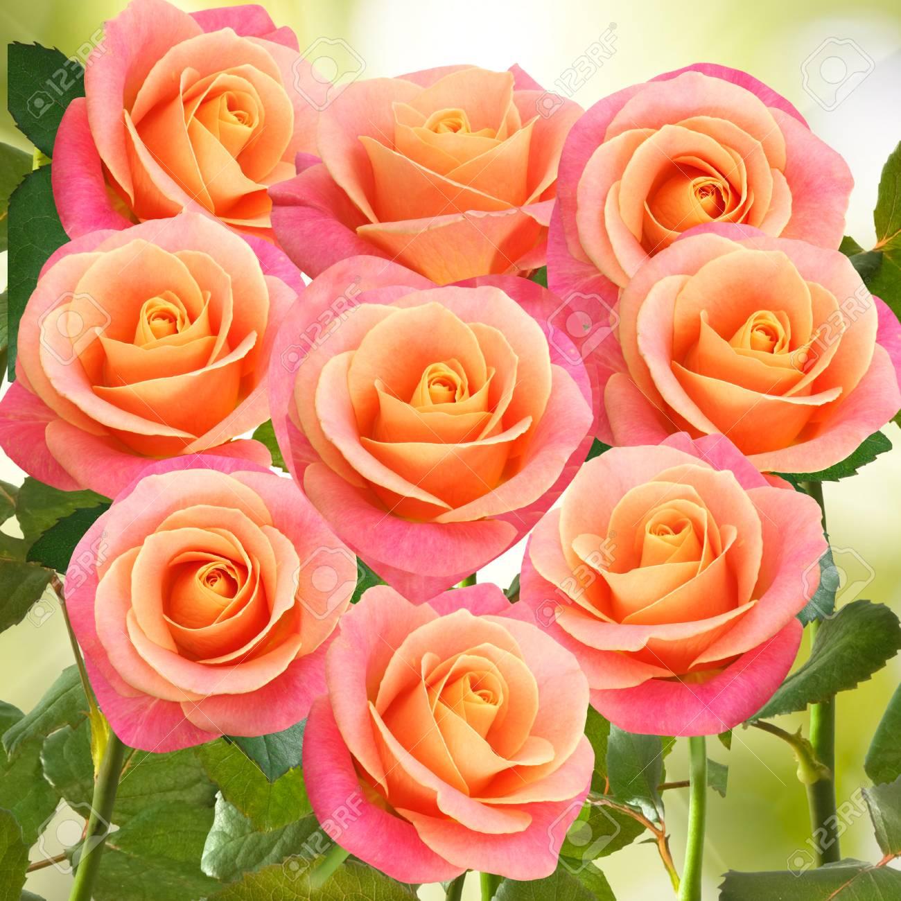 Muchas Hermosas Flores Rosas En El Jardin Fotos Retratos Imagenes