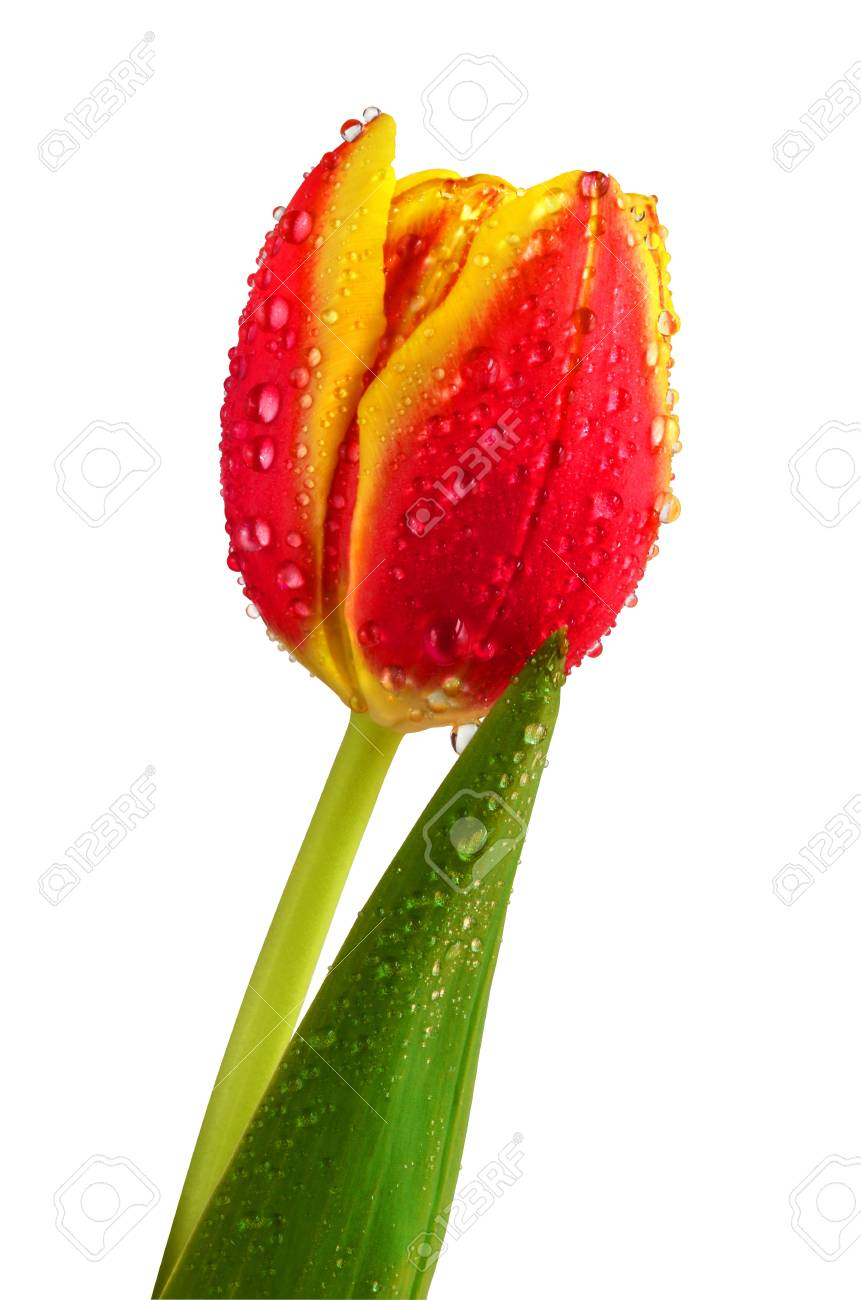 Tulip covered with small water drops. Isolated on white. Stock Photo - 12856913