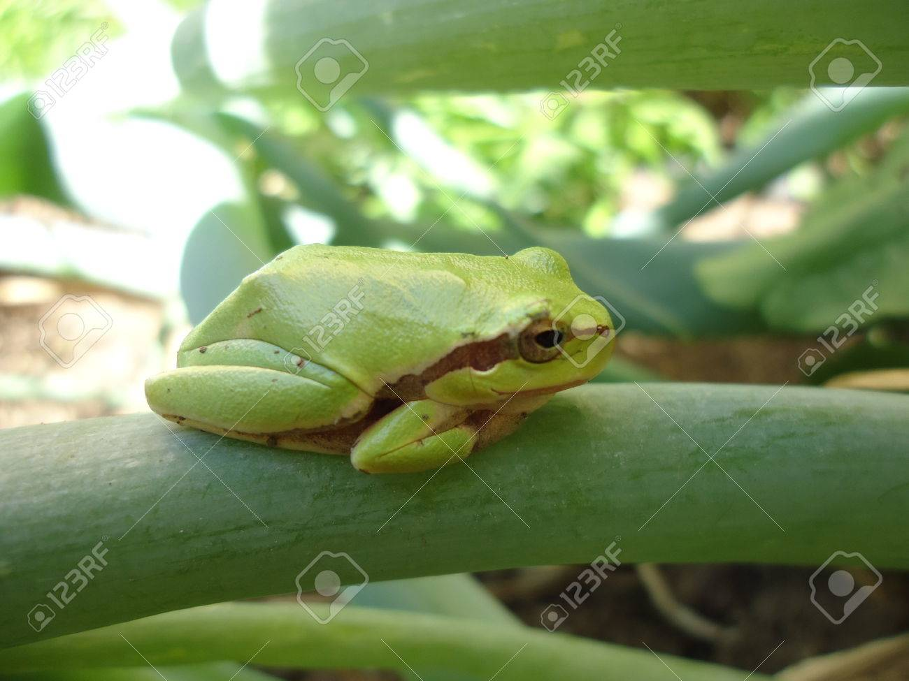 Green frog resting on onion leaf Stock Photo - 22643165