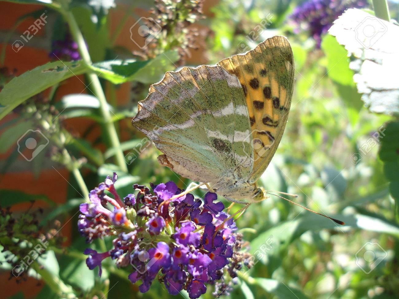 Butterfly resting on buddleja davidii flower Stock Photo - 22643171