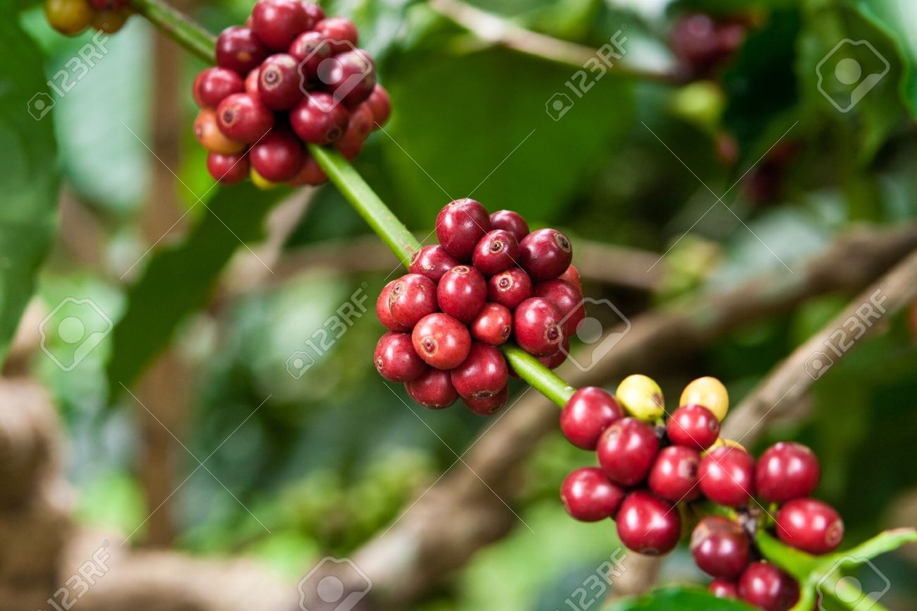 coffee plant mit fruits Stock Photo - 7072766