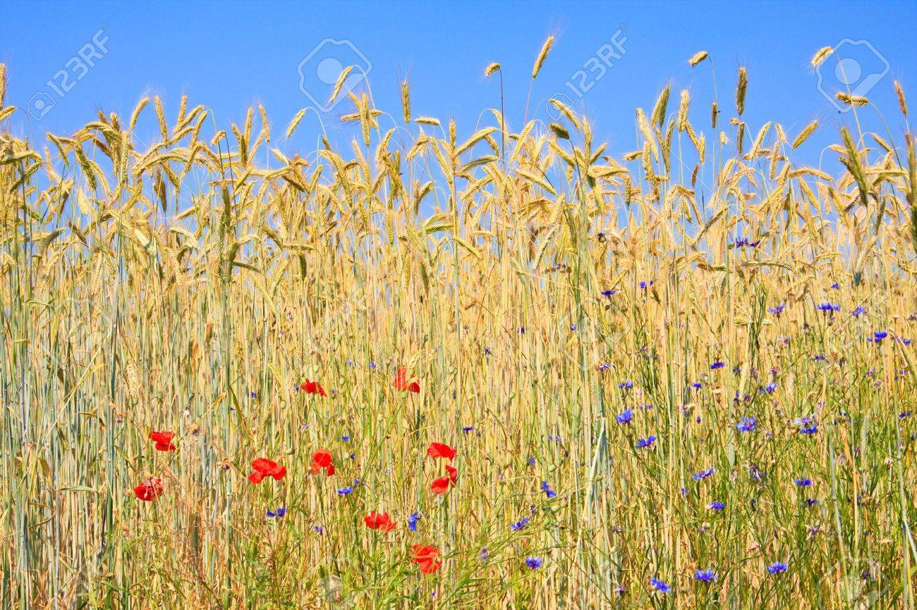 rye field with corn poppy and cornflowers Stock Photo - 7516810