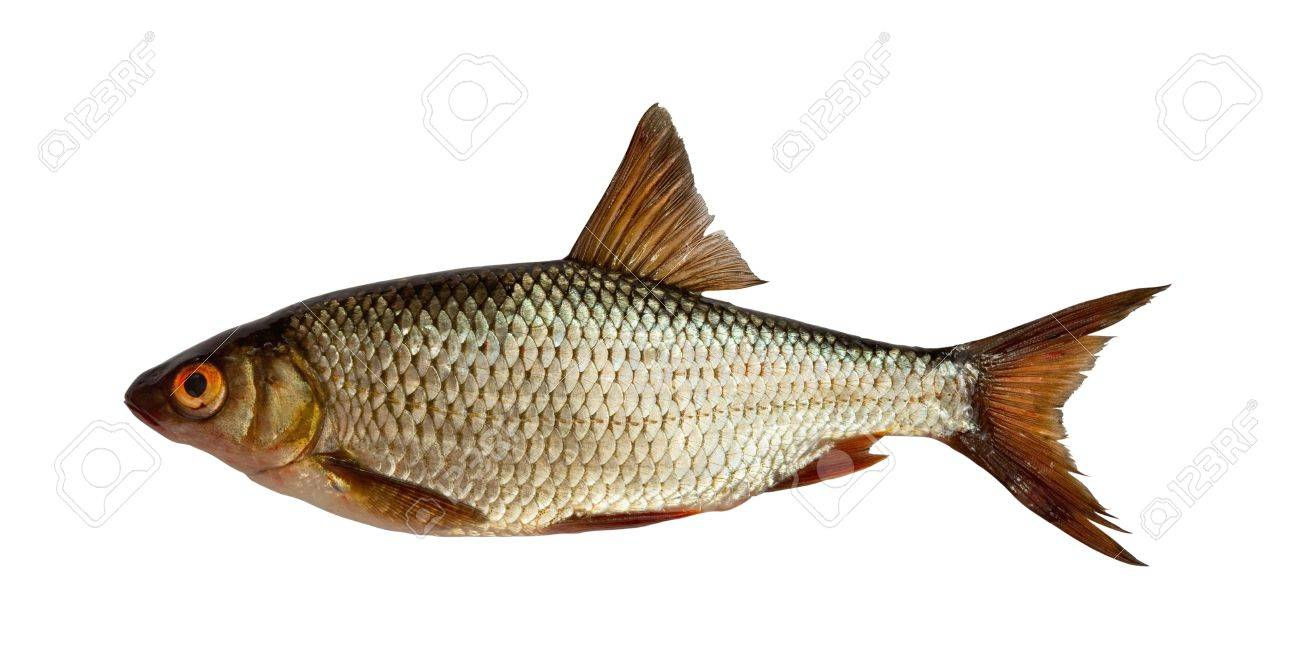 Freshwater fish dace - European Roach Freshwater Fish Isolated On White Stock Photo 6635726