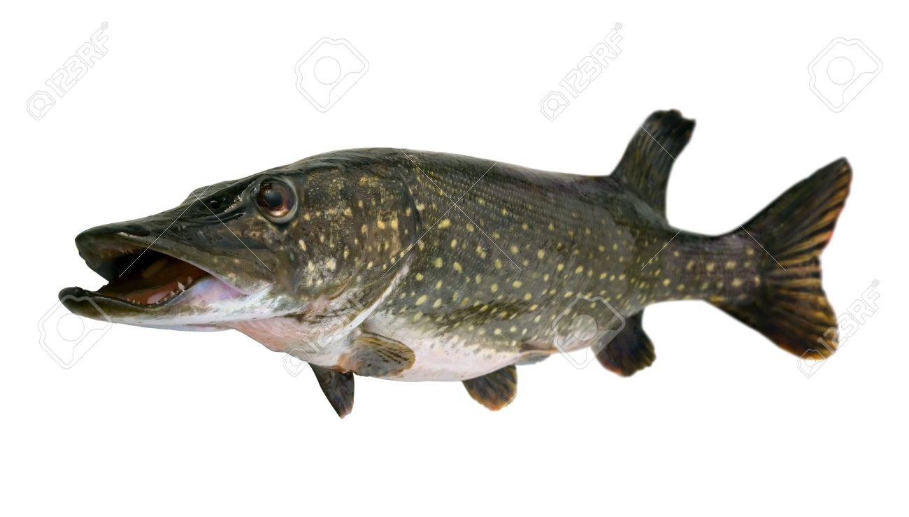 Big pike (Esox lucius) -  freshwater fish isolated on white Stock Photo - 8031119