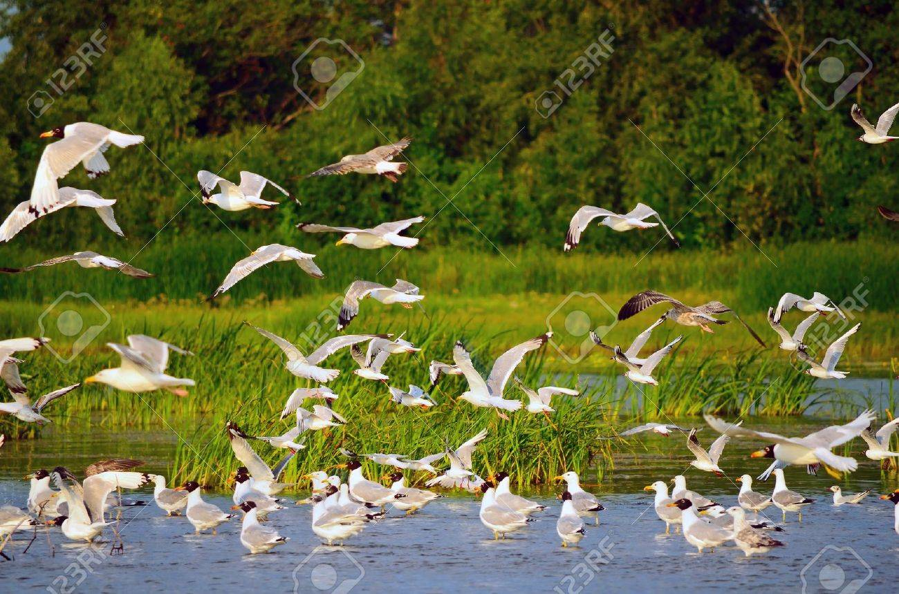 Large flock of gulls at the river bank - 10181415