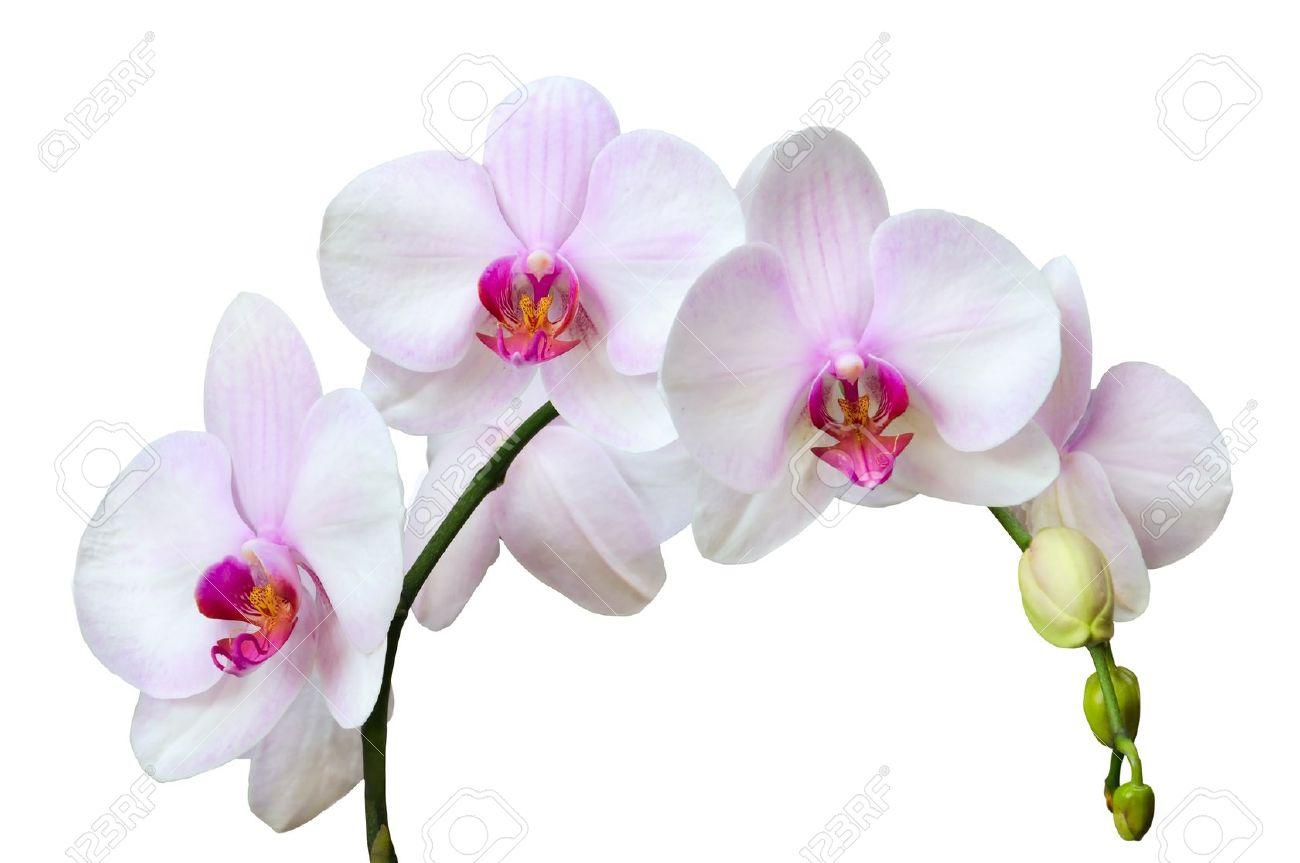 Abteilung der rosa gefleckte orchideen isoliert auf wei lizenzfreie abteilung der rosa gefleckte orchideen isoliert auf wei standard bild 13159948 altavistaventures Images