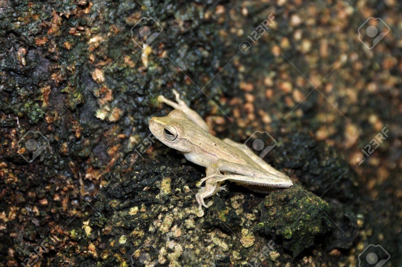 Treefrog in the Amazon Rainforest Stock Photo - 12154185