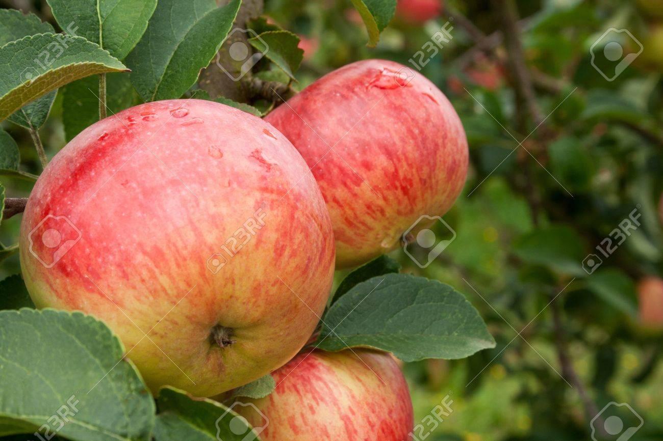 apples on tree Standard-Bild - 16623789