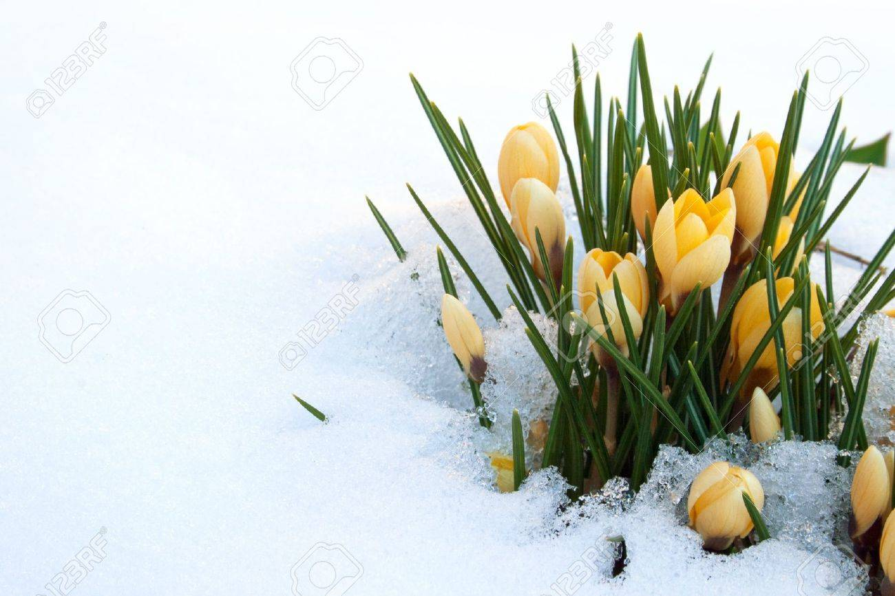 yellow crocuses in snow Standard-Bild - 18498011