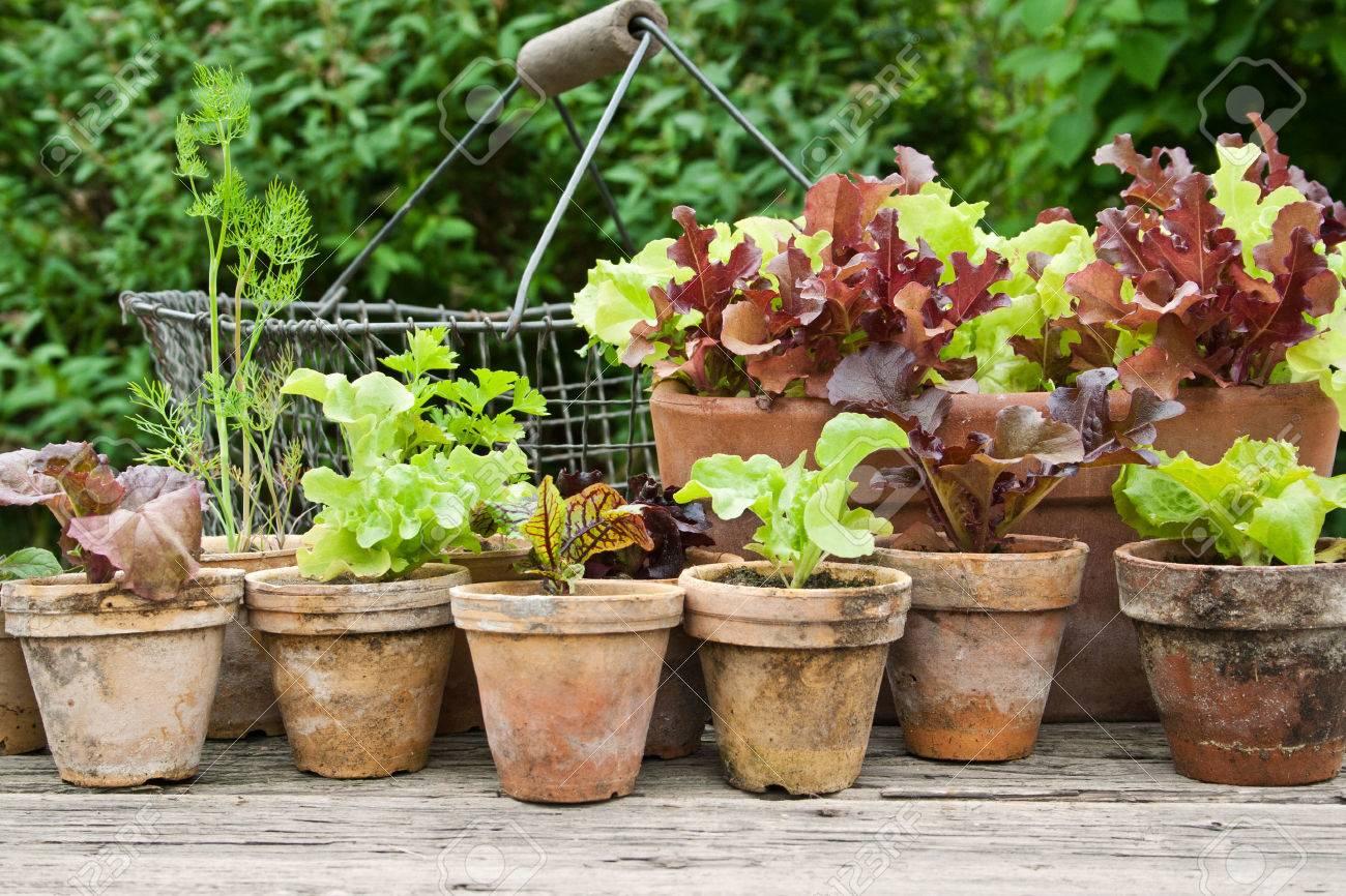 Blumentöpfe mit Salat und Kräutern Standard-Bild - 22926591