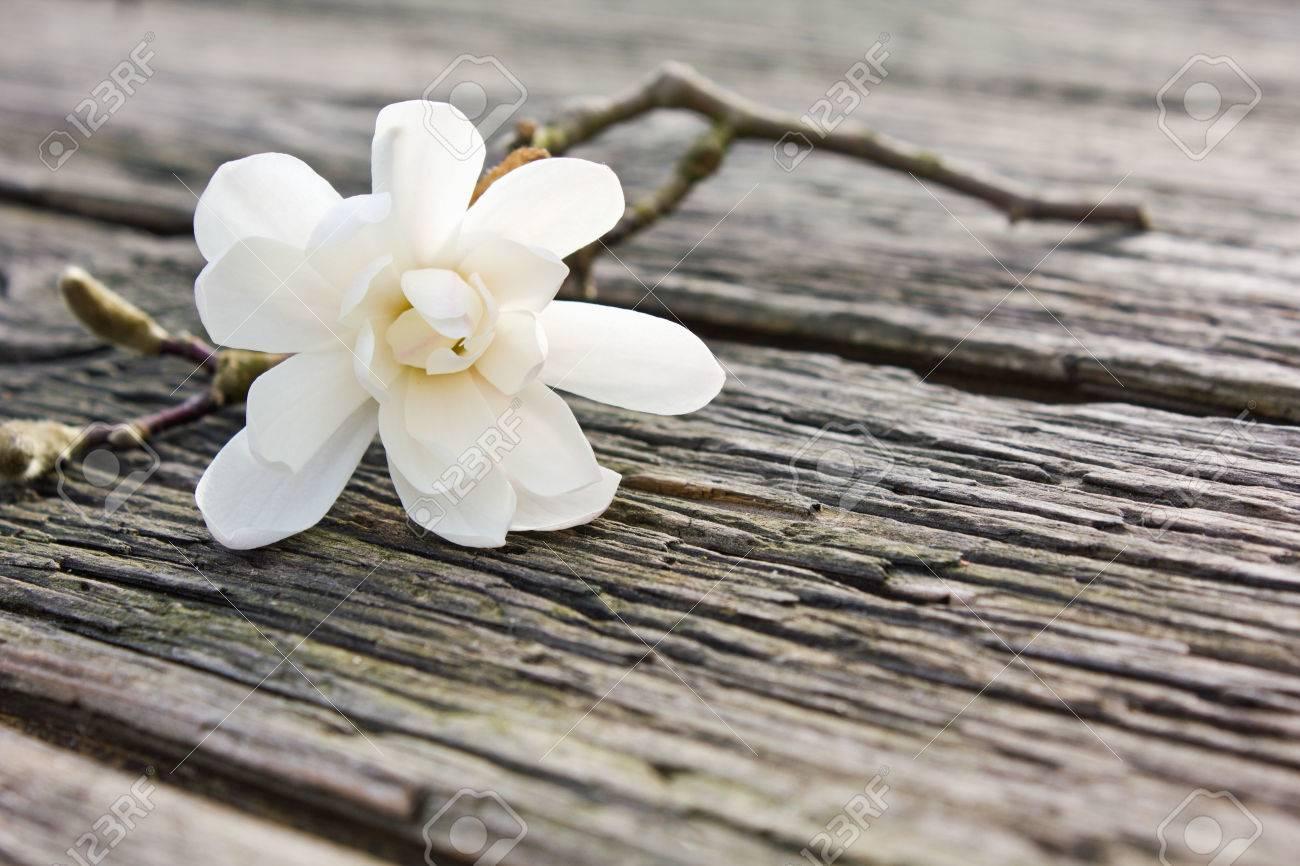 white magnolia  on a board Standard-Bild - 27597261