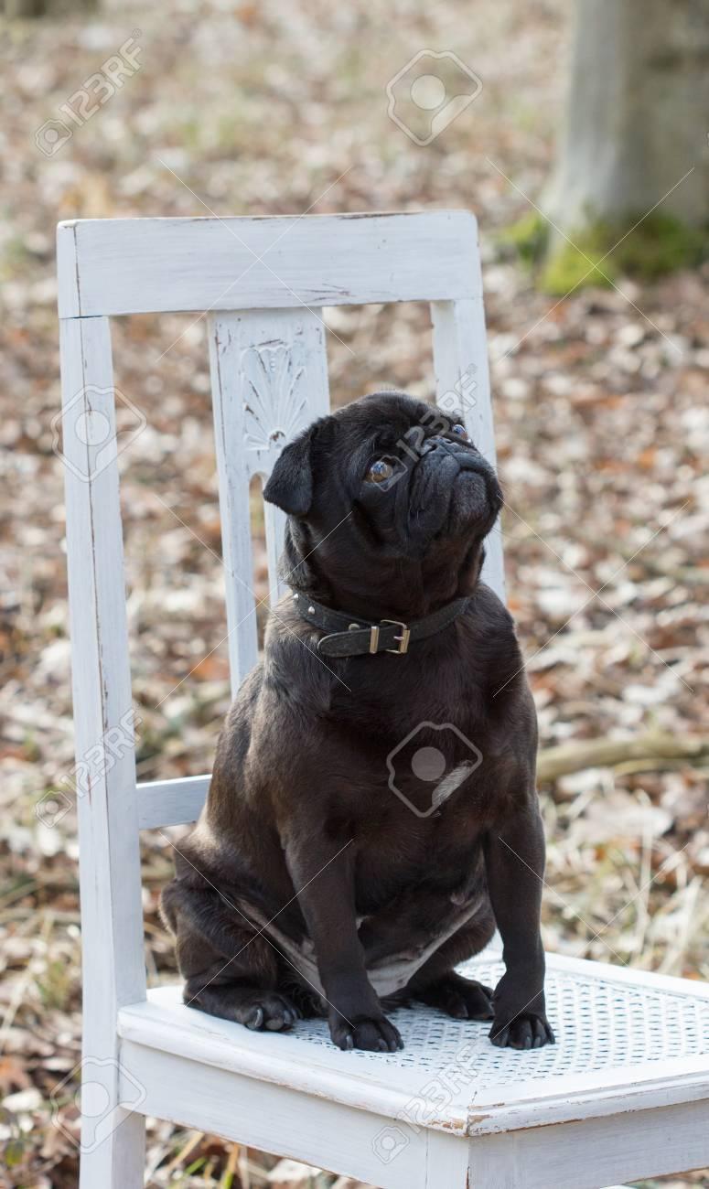 Ein Schwarzer Hund Sitzt Auf Einem Weißen Stuhl Im Wald Lizenzfreie