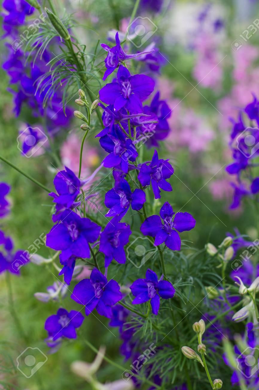青い青い花トリカブト属 ロイヤ...