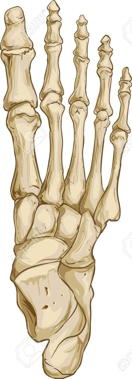 Anatomie Pied vector illustration d'un os anatomie du pied médicale clip art