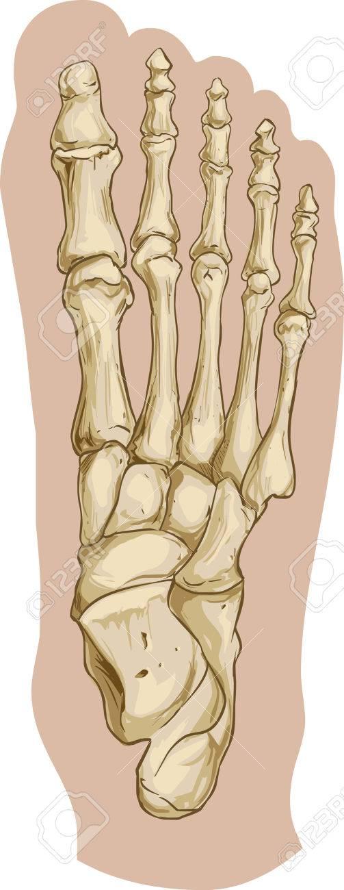 Vector La Ilustración De Una Anatomía ósea Del Pie Médica ...