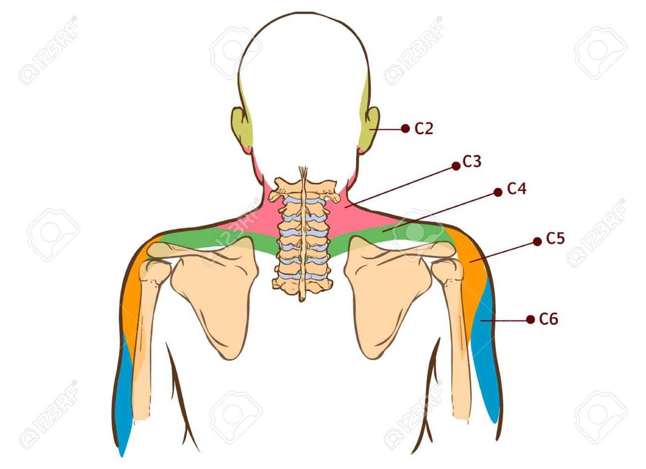 Levator Scapulae Muscular - Tablero Didáctico De La Anatomía Del ...