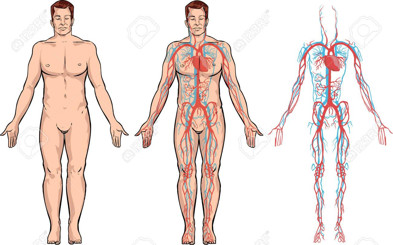 white background Vector illustration of a circulatory system - 52746500