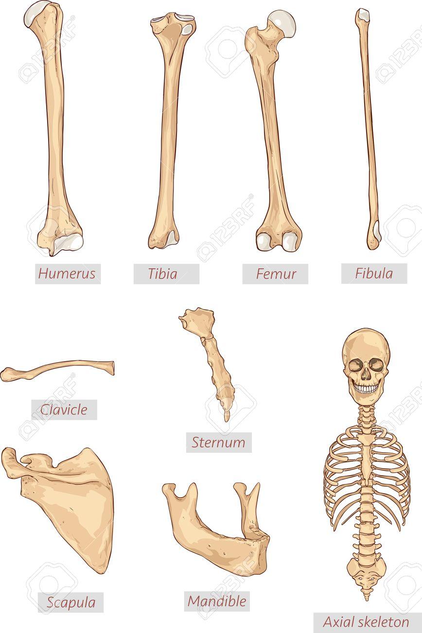 Ungewöhnlich Axialskelett Anatomie Galerie - Anatomie Ideen ...