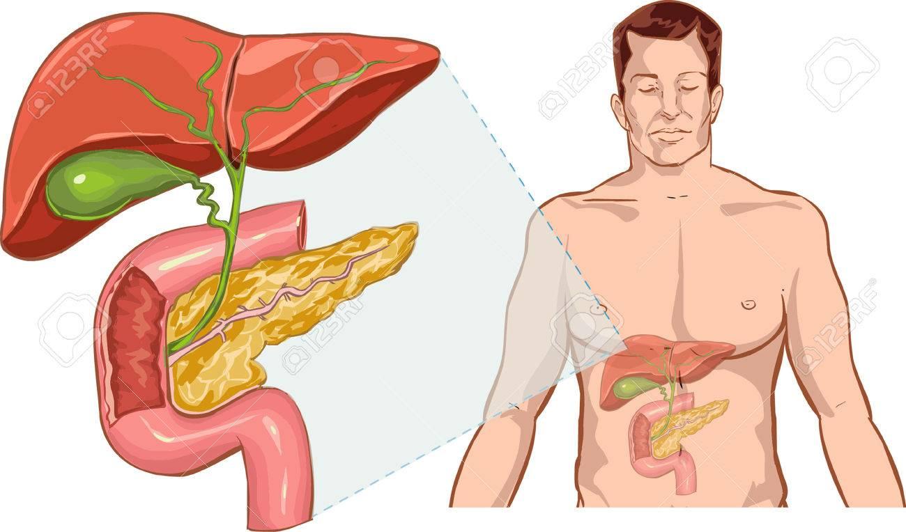 Weißen Hintergrund Mann Anatomie Der Leber Leber Anatomie Lizenzfrei ...
