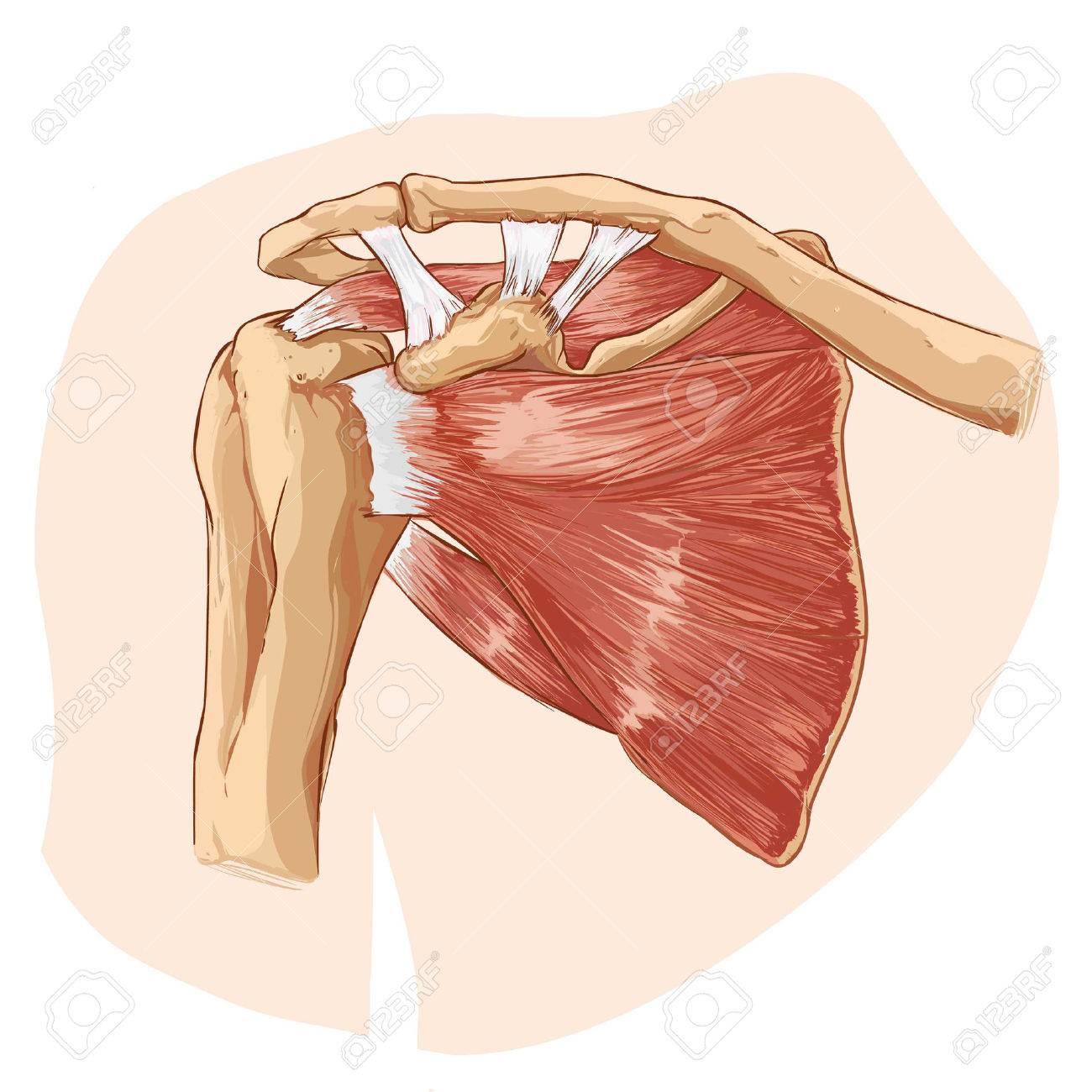 Weißen Hintergrund Vektor-Illustration Einer Schulter Anatomie ...