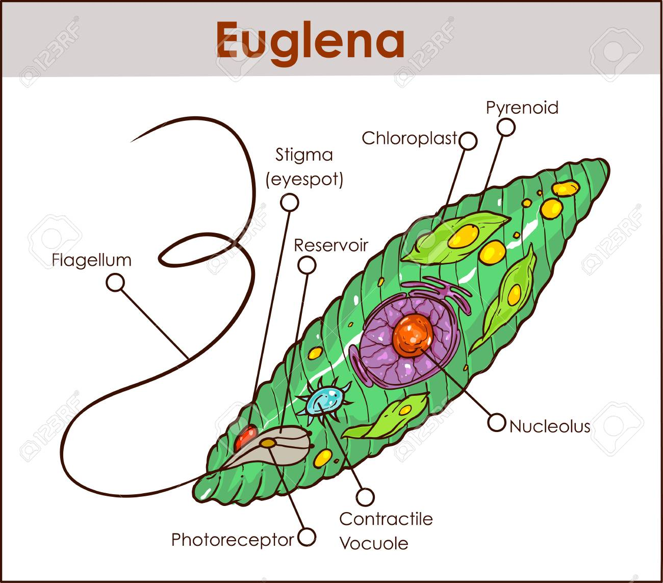 Tha Diagram Of Euglena Wiring Diagram