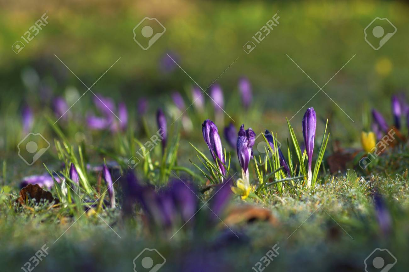 A Field Of Small Purple Spring Flowers Bloomed On The Grass Stock