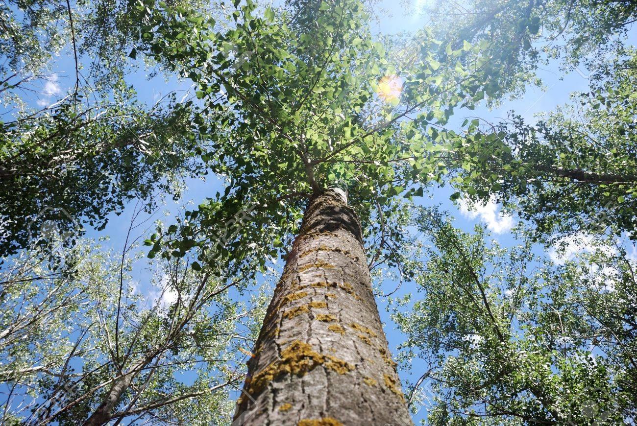 banque dimages sommet de larbre de peuplier sur le ciel bleu et le soleil entre les branches - Arbre Ciel