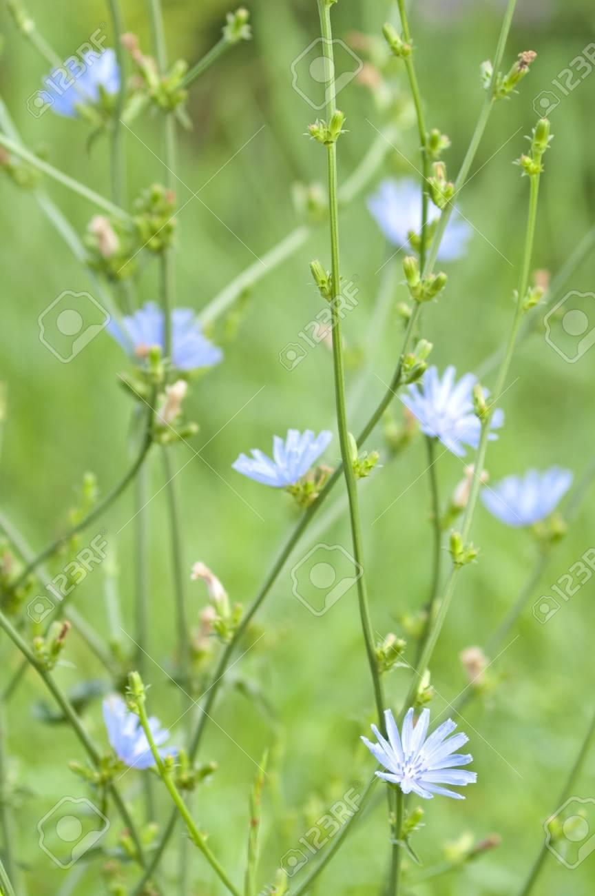 Bush Der Blüte Chicorée Lizenzfreie Fotos Bilder Und Stock