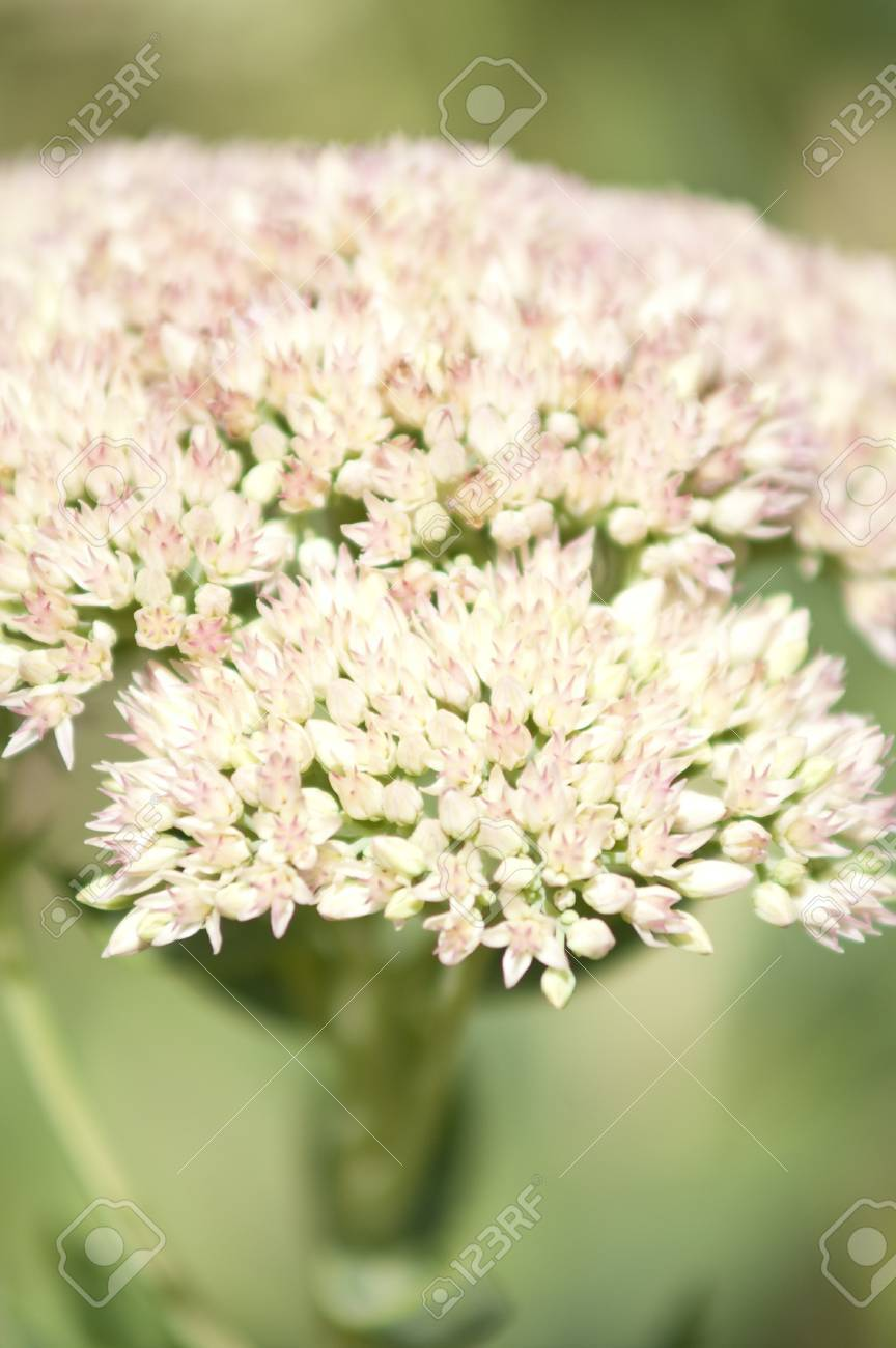 Yarrow common herb Stock Photo - 16921867