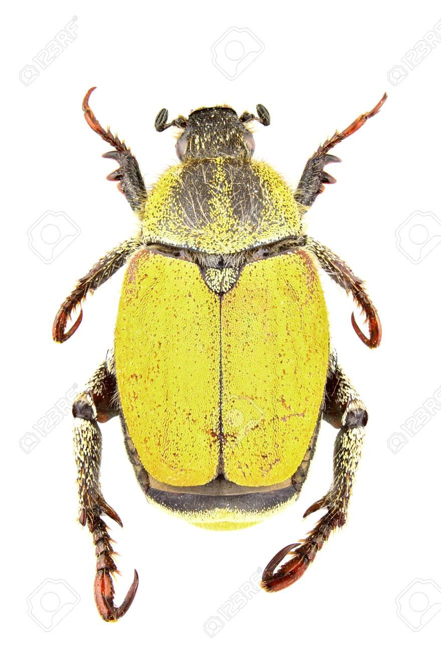 Male of Hoplia bilineata isolated on white background Stock Photo - 8840790