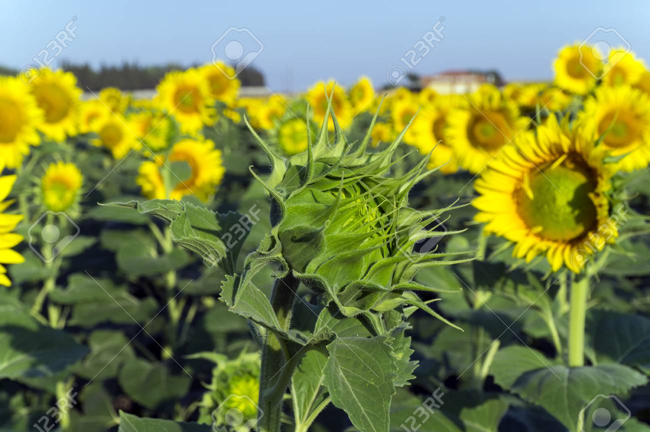 Natural Beautiful Sunflowers In The Field Stock Photo Picture And