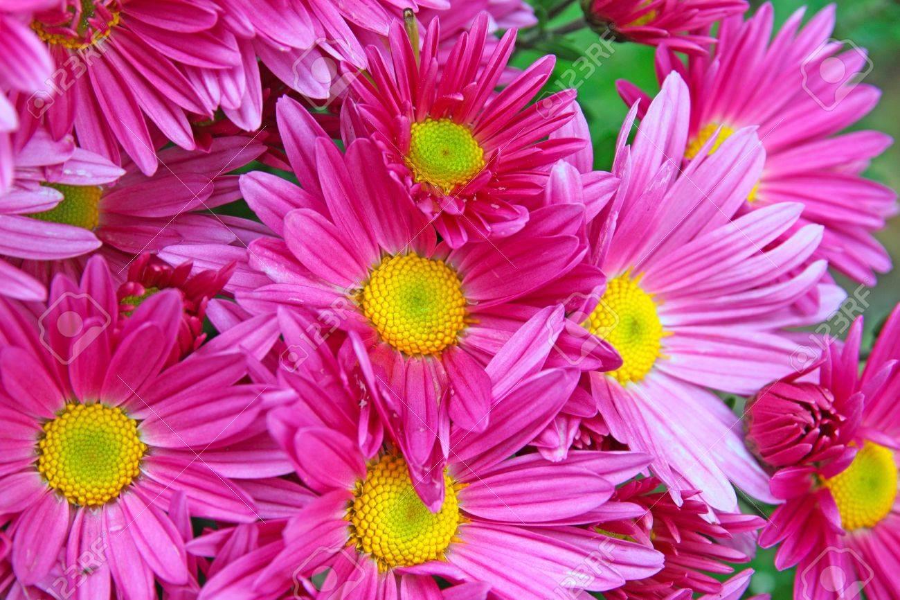 purple daisies closeup Stock Photo - 11263340