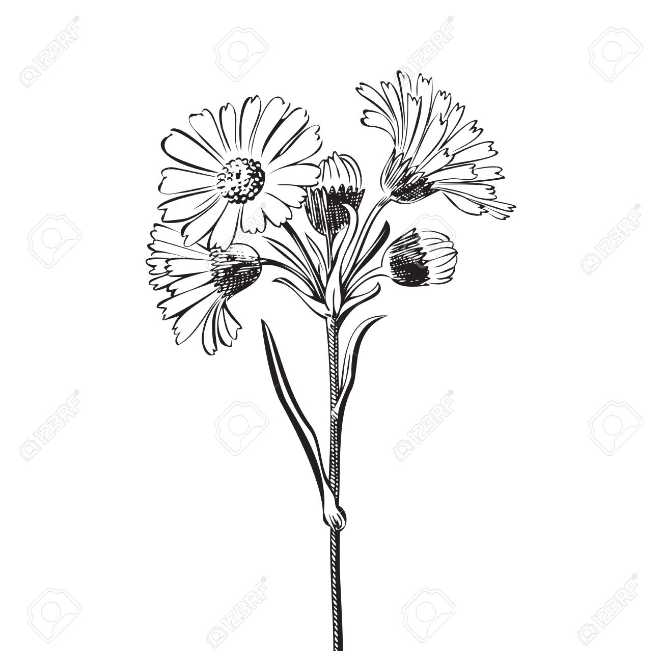 Hand Drawn Bouquet Of Daisy Flowers Isolated On White Background ...