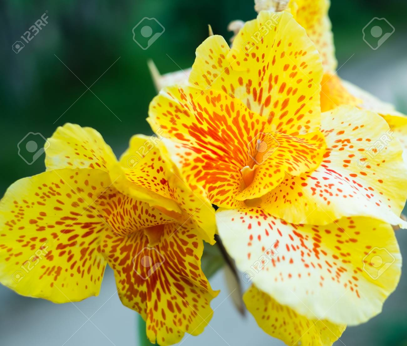 Large blooms in the okinawa yellow canna flowers stock photo large blooms in the okinawa yellow canna flowers stock photo 86525618 mightylinksfo